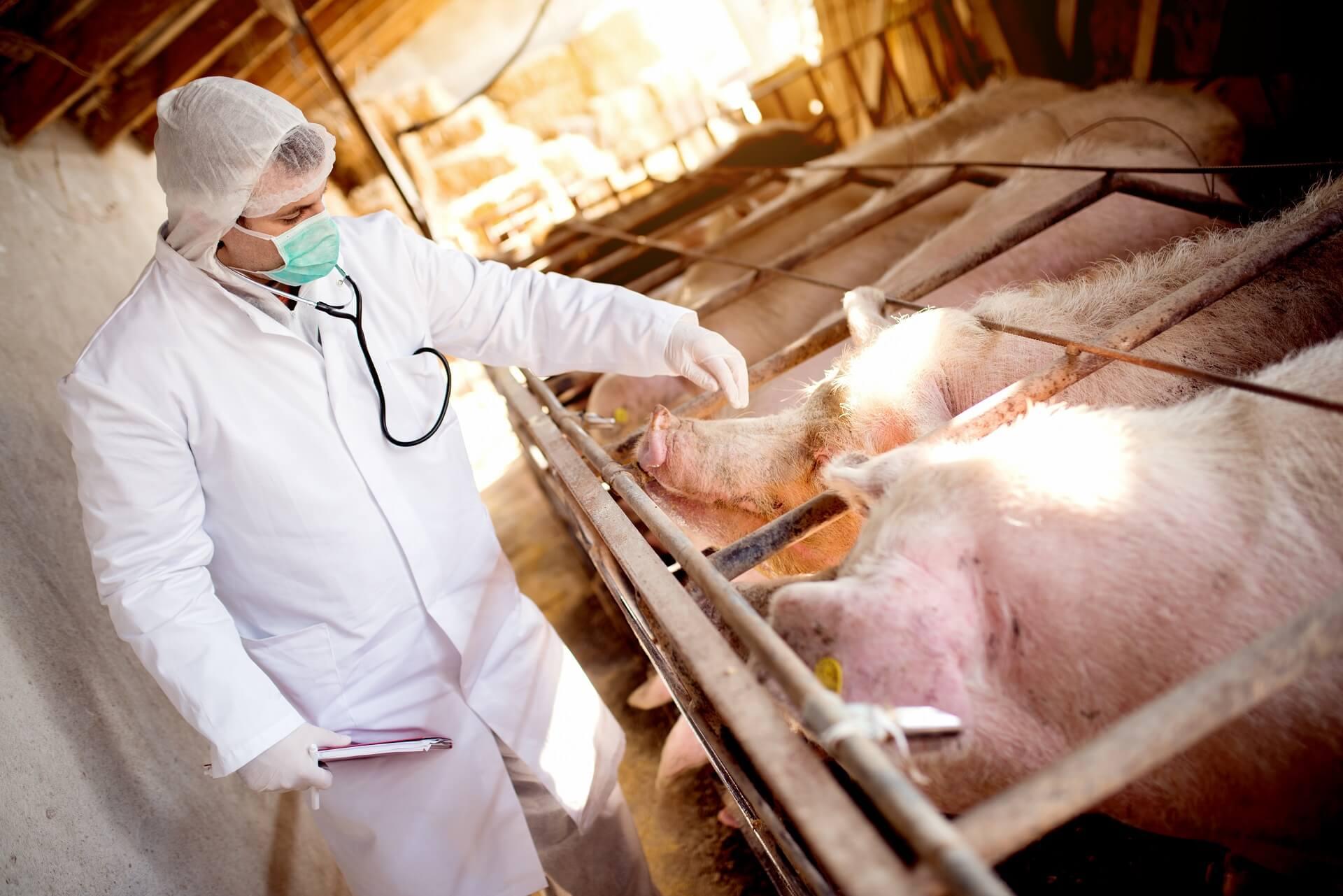 Leczenie zwierząt gospodarskich